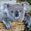 Koala_Brother